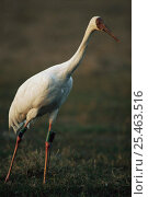 Купить «Great white / Siberian crane {Grus leucogeranus} endangered, captive reared and released with radio transmitter, Keoladeo Ghana NP, Bharatpur, Rajasthan, India, 1999», фото № 25463516, снято 24 сентября 2018 г. (c) Nature Picture Library / Фотобанк Лори