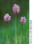 Купить «Monkey orchids {Orchis simia} France», фото № 25463564, снято 23 марта 2019 г. (c) Nature Picture Library / Фотобанк Лори