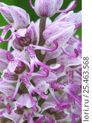 Купить «Monkey orchid flower, {Orchis simia} France», фото № 25463568, снято 23 марта 2019 г. (c) Nature Picture Library / Фотобанк Лори