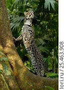 Купить «Ocelot (Felis / Leopardus pardalis) Amazon Rainforest, Ecuador captive», фото № 25463908, снято 19 июля 2019 г. (c) Nature Picture Library / Фотобанк Лори