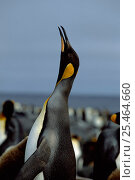King penguin trumpeting {Aptenodytes patagoni} Marion Island, sub-antarctica (Taken on location for BBC Planet Earth Shallow Seas 2005). Стоковое фото, фотограф Ian McCarthy / Nature Picture Library / Фотобанк Лори