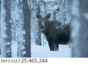 Купить «Moose in snow {Alces alces} Sarek NP. Lapland, Sweden.», фото № 25465244, снято 23 января 2019 г. (c) Nature Picture Library / Фотобанк Лори