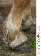 Купить «Close-up of horses {Equus caballus} hoof, Sweden.», фото № 25465336, снято 18 января 2019 г. (c) Nature Picture Library / Фотобанк Лори