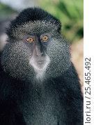 Купить «Blue monkey portrait {Cercopithecus mitis} Virunga NP. Dem Rep of Congo», фото № 25465492, снято 23 января 2019 г. (c) Nature Picture Library / Фотобанк Лори