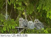 Купить «Three Ural owl {Strix uralensis} chicks in tree, Vastmanland, Sweden.», фото № 25465536, снято 17 января 2019 г. (c) Nature Picture Library / Фотобанк Лори