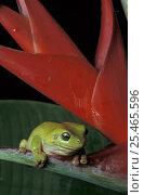 Купить «Green tree frog {Litoria caerulea} on Heliconia, Queensland, Australia», фото № 25465596, снято 20 июля 2019 г. (c) Nature Picture Library / Фотобанк Лори