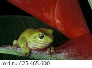 Купить «Green tree frog {Litoria caerulea} on Heliconia, Queensland, Australia», фото № 25465600, снято 20 июля 2019 г. (c) Nature Picture Library / Фотобанк Лори
