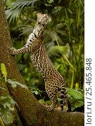 Купить «Ocelot (Felis / Leopardus pardalis) Amazon Rain Forest, Ecuador captive», фото № 25465848, снято 19 июля 2019 г. (c) Nature Picture Library / Фотобанк Лори