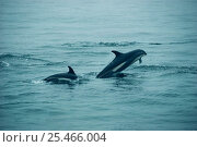 Atlantic white-sided dolphins {Lagenorhynchus acutus} off coast of New England. Стоковое фото, фотограф Mark Carwardine / Nature Picture Library / Фотобанк Лори