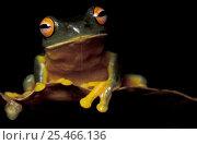 Купить «Red eyed treefrog {Litoria chloris} Queensland, Australia», фото № 25466136, снято 20 июля 2019 г. (c) Nature Picture Library / Фотобанк Лори