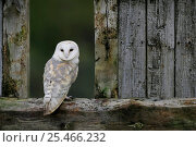 Купить «Barn Owl {Tyto alba} in old farm building window, Scotland, UK. Cairngorms National Park.», фото № 25466232, снято 16 октября 2018 г. (c) Nature Picture Library / Фотобанк Лори