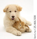 Купить «Domestic puppy (Canis familiaris) with bunny.», фото № 25466508, снято 20 июля 2018 г. (c) Nature Picture Library / Фотобанк Лори