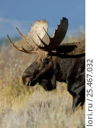 Купить «Moose (Alces alces) bull, Grand Teton NP, Wyoming, USA», фото № 25467032, снято 23 июля 2018 г. (c) Nature Picture Library / Фотобанк Лори