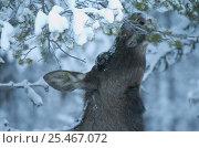 Купить «Moose in snow {Alces alces} Sarek NP, Lapland, Sweden.», фото № 25467072, снято 18 января 2019 г. (c) Nature Picture Library / Фотобанк Лори