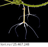 Купить «Common hydra {Hydra vulgaris} budding. UK.», фото № 25467248, снято 16 января 2019 г. (c) Nature Picture Library / Фотобанк Лори