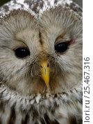 Купить «Ural owl {Strix uralensis} portrait, Vastmanland, Sweden.», фото № 25467316, снято 17 января 2019 г. (c) Nature Picture Library / Фотобанк Лори