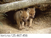 Купить «Arctic grey wolf cubs (one month old) {Canis lupus} captive», фото № 25467456, снято 16 июля 2018 г. (c) Nature Picture Library / Фотобанк Лори