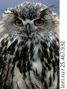 Купить «Captive European Eagle Owl {Bubo bubo} close-up portrait, Scotland, UK.», фото № 25467932, снято 16 октября 2018 г. (c) Nature Picture Library / Фотобанк Лори