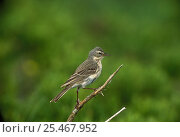 Water Pipit {Anthus spinoletta}  France. Стоковое фото, фотограф Dave Watts / Nature Picture Library / Фотобанк Лори
