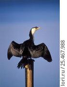 Купить «Magellan / Little Pied Cormorant {Phalacrocorax melanoleucos} sunning, Australia», фото № 25467988, снято 6 апреля 2020 г. (c) Nature Picture Library / Фотобанк Лори