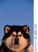Купить «Husky dog head portrait {Canis familiaris} Svalbard, Norway», фото № 25468316, снято 19 марта 2019 г. (c) Nature Picture Library / Фотобанк Лори