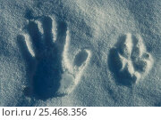 Купить «Human hand print + Grey wolf track in snow {Canis lupus} Sweden», фото № 25468356, снято 18 февраля 2019 г. (c) Nature Picture Library / Фотобанк Лори