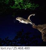 Купить «Southern flying squirrel {Glaucomys volans} taking off, Captive», фото № 25468480, снято 3 апреля 2020 г. (c) Nature Picture Library / Фотобанк Лори
