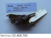 Купить «Sharp beaked ground finch (Geospiza difficilis) one of Darwin's specimens brought back from Galapagos, British museum, London, UK», фото № 25468700, снято 18 июня 2019 г. (c) Nature Picture Library / Фотобанк Лори