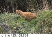 Купить «Ginger tom Domestic cat hunting mice in garden {Felis catus} UK», фото № 25468864, снято 18 августа 2018 г. (c) Nature Picture Library / Фотобанк Лори