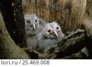 Купить «Ural owl chicks {Strix uralensis} in tree hollow nest, Polesie, Poland», фото № 25469008, снято 21 ноября 2018 г. (c) Nature Picture Library / Фотобанк Лори