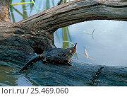 Desman {Desmana moschata} on a branch, Bryansky Les Zapovednik, Russia. Стоковое фото, фотограф Igor Shpilenok / Nature Picture Library / Фотобанк Лори