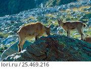West Caucasian Tur {Capra caucasica} mother and calf feeding. Russia. Стоковое фото, фотограф Igor Shpilenok / Nature Picture Library / Фотобанк Лори