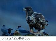 Купить «White tailed Sea Eagle, {Haliaetus albicilla} and Hooded Crows, Flatanger, Norway.», фото № 25469536, снято 19 марта 2019 г. (c) Nature Picture Library / Фотобанк Лори