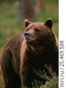 Купить «European Brown Bear, {Ursus arctos} Lapland, Finland», фото № 25469588, снято 19 сентября 2019 г. (c) Nature Picture Library / Фотобанк Лори