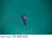 Купить «Aerial view of Grey whale with calf {Eschrichtus robustus} Baja California, Mexico», фото № 25469932, снято 8 мая 2020 г. (c) Nature Picture Library / Фотобанк Лори
