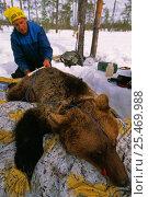 Купить «Bear researcher at work, Brown bear {Ursus arctos} Dalarna, Sweden.», фото № 25469988, снято 19 сентября 2019 г. (c) Nature Picture Library / Фотобанк Лори