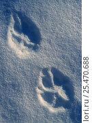 Купить «European grey wolf footprints in snow {Canis lupus} Varmland, Sweden.», фото № 25470688, снято 19 сентября 2019 г. (c) Nature Picture Library / Фотобанк Лори