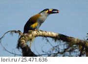 Купить «Plate-billed mountain toucan {Andigena laminirostris} Ecuador, Mindo Cloud forest», фото № 25471636, снято 26 апреля 2019 г. (c) Nature Picture Library / Фотобанк Лори