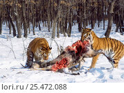 Купить «Siberian tigers feeding on deer carcass {Panthera tigris altaica} captive», фото № 25472088, снято 20 февраля 2020 г. (c) Nature Picture Library / Фотобанк Лори