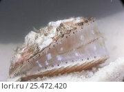 Купить «Queen scallop showing eyes {Chlamys opercularis}», фото № 25472420, снято 16 августа 2018 г. (c) Nature Picture Library / Фотобанк Лори