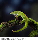 Купить «Madagascan day gecko {Phelsuma madagascariensis}. Madagascar.», фото № 25472744, снято 3 апреля 2020 г. (c) Nature Picture Library / Фотобанк Лори