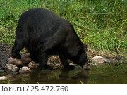 Black bear drinking {Ursus americanus} Minnesota, USA. Стоковое фото, фотограф Dave Watts / Nature Picture Library / Фотобанк Лори