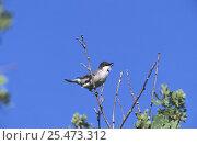 Купить «Orphean warbler, male singing {Sylvia hortensis} Lesbos, Greece», фото № 25473312, снято 22 мая 2019 г. (c) Nature Picture Library / Фотобанк Лори