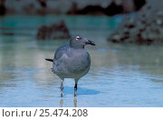 Купить «Dusky gull {Leucophaeus fuliginosus} Tower Is, Galapagos», фото № 25474208, снято 26 июня 2019 г. (c) Nature Picture Library / Фотобанк Лори