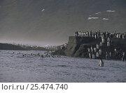Купить «King penguins crossing river {Aptenodytes patagoni} St Andrews Bay, South Georgia», фото № 25474740, снято 24 сентября 2018 г. (c) Nature Picture Library / Фотобанк Лори