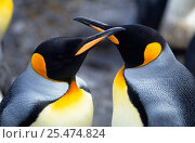 Купить «King penguin pair, face to face, Possesion Is, Sub-antarctica {Aptenodytes patagoni}», фото № 25474824, снято 23 мая 2019 г. (c) Nature Picture Library / Фотобанк Лори