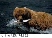 Купить «Grizzly bear with caught salmon, Brooks river, Katmai NP, Alaska, USA {Ursus arctos horribilis}», фото № 25474832, снято 18 апреля 2019 г. (c) Nature Picture Library / Фотобанк Лори