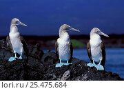 Купить «Three Blue footed boobies {Sula nebouxii} Galapagos.», фото № 25475684, снято 5 июня 2020 г. (c) Nature Picture Library / Фотобанк Лори