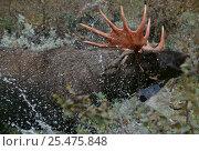 Купить «Moose bull bathing {Alces alces} Sweden.», фото № 25475848, снято 18 января 2019 г. (c) Nature Picture Library / Фотобанк Лори