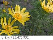 Купить «Pheasant's eye in flower {Adonis vernalis} France», фото № 25475932, снято 15 августа 2018 г. (c) Nature Picture Library / Фотобанк Лори